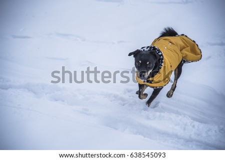 Cute small puppy running in the snow, enjoying winter
