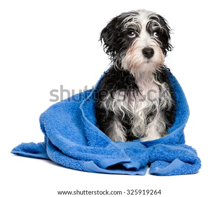 Cute smart havanese puppy dog after bath is sitting on a blue towel and looking upward, isolated on white background - stock photo