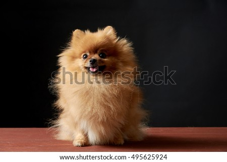 Cute smiling Pomeranian puppy (on a dark blue background)