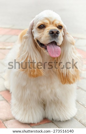 Cute smiling sporting dog breed American Cocker Spaniel  with Fawn or Golden coat standing - stock photo