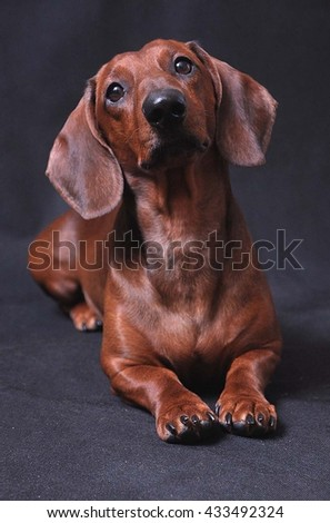 Cute smooth haired Dachshund on a dark gray background