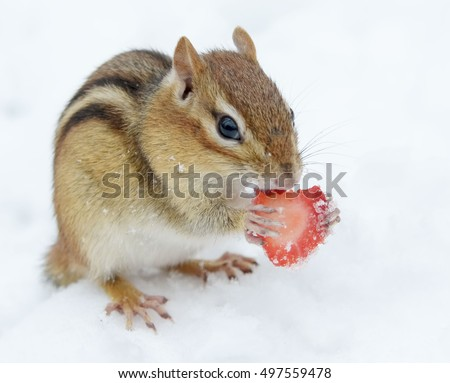 Cute snowy chipmunk eating a piece of strawberry