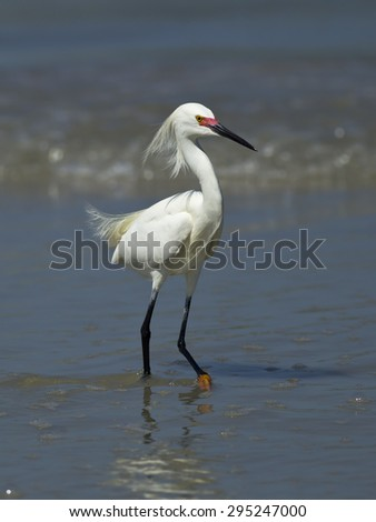 Cute snowy egret on wet sand in Central Florida. - stock photo