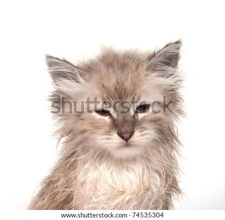 Cute soggy kitten after a bath - stock photo