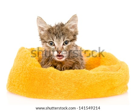 Cute soggy kitten after a bath. isolated on white background - stock photo