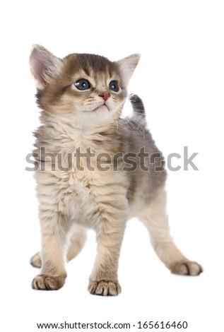 Cute somali kitten isolated on white background - stock photo