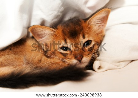 Cute somali kitten lying on white bed and looking at camera