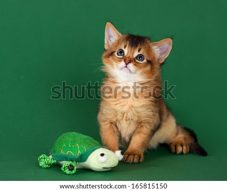 Cute somali kitten with toy on the green background - stock photo