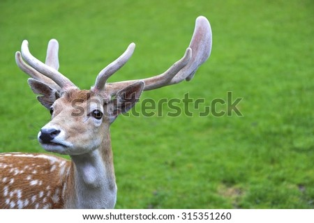 cute spotted fallow dear with green grass background. shallow depth of field (DOF) with selected focusing - stock photo
