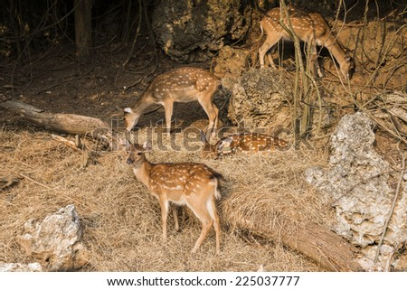 Cute spotted fallow deer