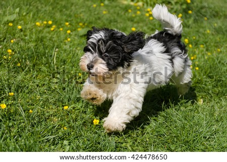 Cute spotted havanese puppy dog is running in a spring flowering garden - stock photo