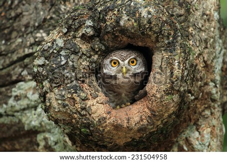 cute Spotted owlet - stock photo