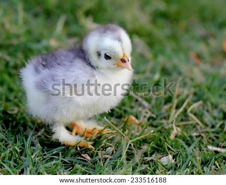 Cute spring chicken  - stock photo