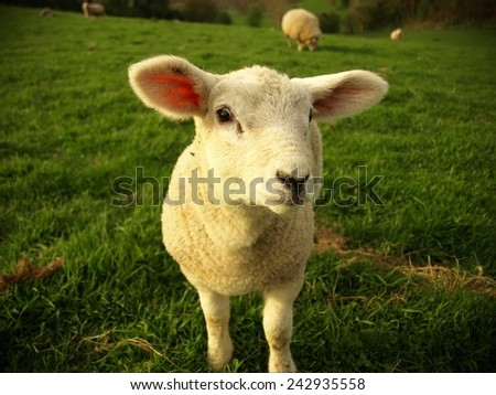 Cute Spring Lamb Stands in a Green Meadow - stock photo