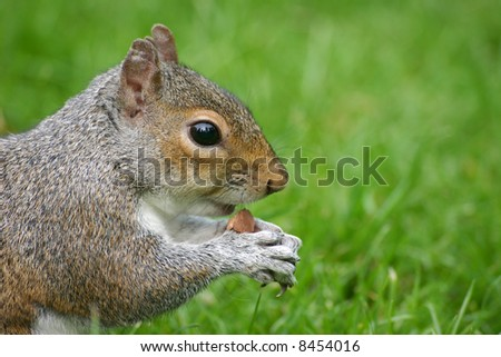 Cute squirrel eating a nut