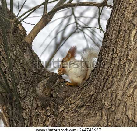 Cute squirrel eating a nut European winter landscape with a beautiful forest blurred in the background