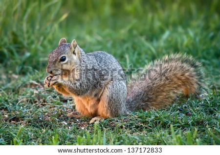 Cute squirrel eating bird seeds in the garden