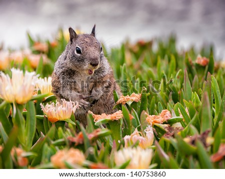 Cute Squirrel having it's meal and peeking out of the grass looking for potential danger. Pacific Ocean in the background - shot in San Diego, California.