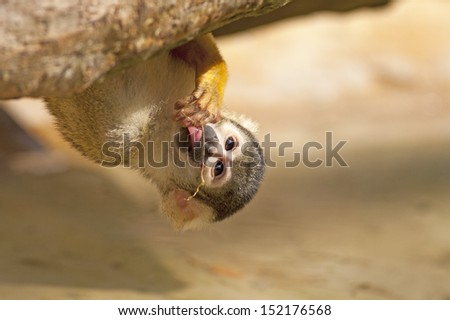 Cute Squirrel monkey (Saimiri) - drinking water up-side down - stock photo