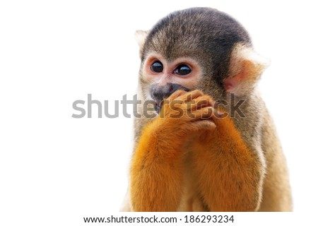 Cute Squirrel monkey (Saimiri) - Isolated on white background - stock photo