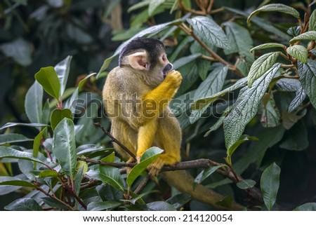 Cute Squirrel monkey (Saimiri) standing on a tree branch - stock photo