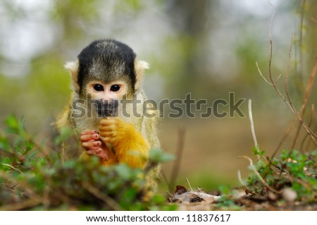 cute squirrel monkey (Saimiri) subfamily: saimiriinae - stock photo