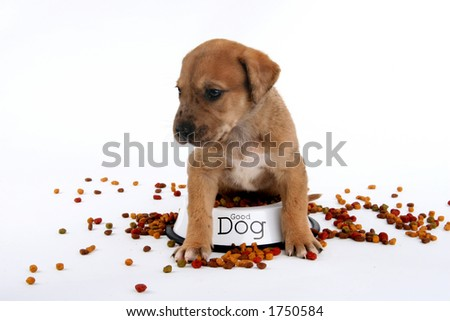 cute St. Bernard/Great Dane puppy sitting in food dish - stock photo