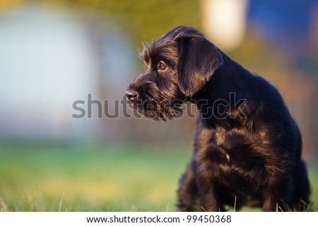 cute standard schnauzer puppy sitting in the garden and looking away - stock photo