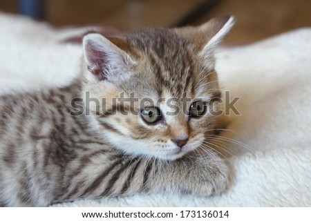 Cute striped scottish kitten, soft focus