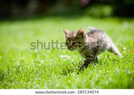 Cute stripy little kitten running through the green lawn - stock photo