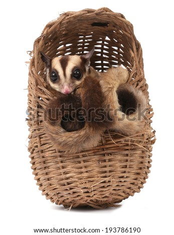 Cute sugar glider - Petaurus breviceps in wooden basket on white background