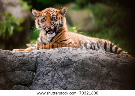 Cute sumatran tiger cub laying on a rock - stock photo