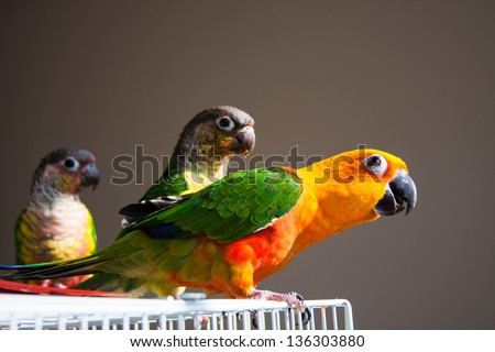 Cute Sun Conure and Green Cheeked Conure - stock photo