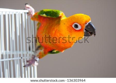 Cute Sun Conure climbing the cage - stock photo