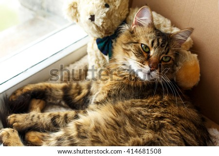 cute sweet cat lying sleepy in craft box with his teddy bear on a window - stock photo