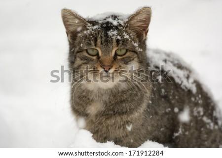 Cute tabby American shorthair cat hunts for birds following a heavy snowstorm - stock photo