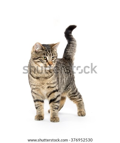 Cute tabby cat jumping and playing isolated on white background