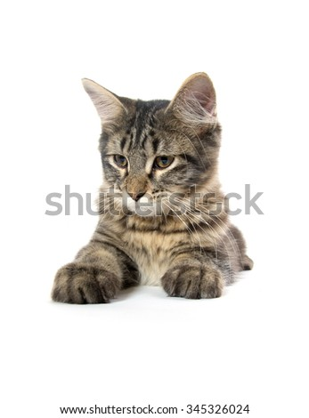 Cute tabby cat laying down and isolated on white background