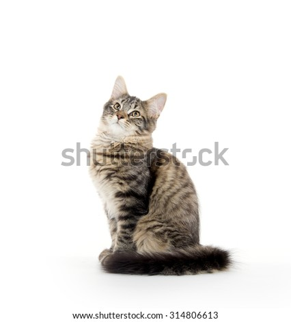 Cute tabby cat with long fluffy tail sitting on white background