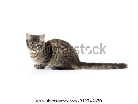 Cute tabby cat with long tail laying down on white background - stock photo