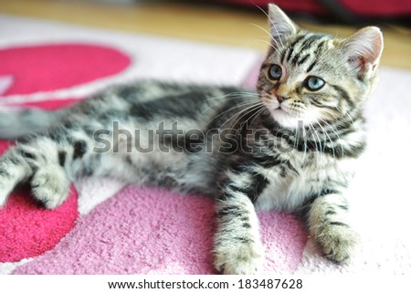 Cute  tabby kitten laying down on  pink carpet - stock photo