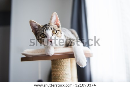 Cute Tabby Kitten Relaxing on Top of Cat Tree - stock photo