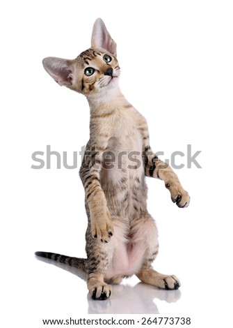 Cute tabby kitten standing on his hind legs. Oriental kitten on a white background - stock photo