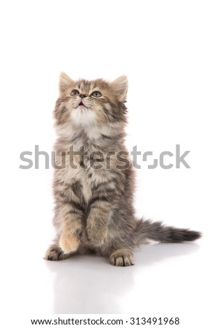 Cute tabby kitten standing with hind legs and licking lips on white background isolated - stock photo