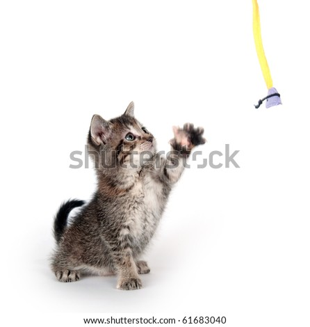 cute tabby kitten swinging its paw at a toy on white background - stock photo