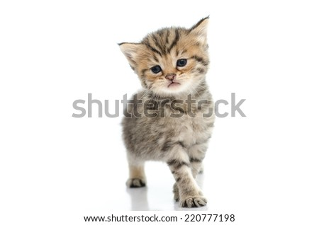 Cute tabby kitten walking on white background isolate