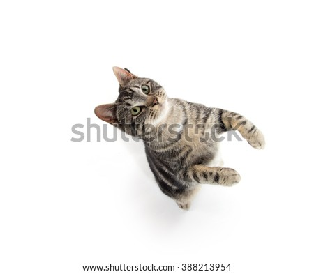 Cute tabby kitty jumping in the air isolated on white background