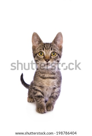 Cute tabby Munchkin cat with big gold eyes isolated on white background