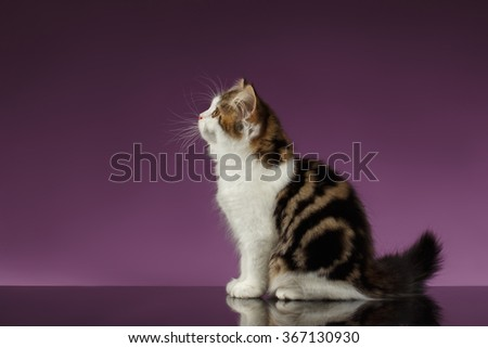 Cute Tabby Scottish straight Kitten Sits on Purple Background - stock photo