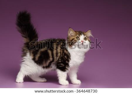 Cute Tabby Scottish straight Kitten Walk on Purple Background - stock photo